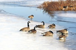 A flock of Canada Geese resting on a snow and ice covered Marsh in early spring