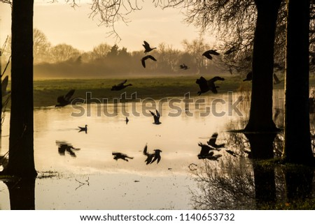 Stock Photo A flock of Canada Geese take flight across a river towards a pair of trees, viewed in silhouette at sunset against a background of grass and trees and reflections visible in the water