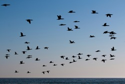 A flock of Cape cormorant or Cape shag (Phalacrocorax capensis) birds flying past over the ocean