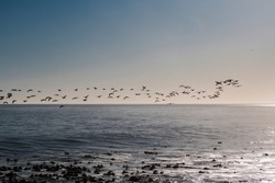A flock of Cape cormorant or Cape shag (Phalacrocorax capensis) birds flying past over the ocean in the bright morning light