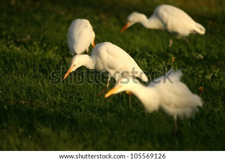A flock of cattle egrets / tick birds feeding on a open patch of grass.