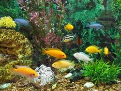 A flock of colorful fish in the aquarium. Algae and several fish. Beautiful multi-colored fish in the aquarium. Hobbies and pets.