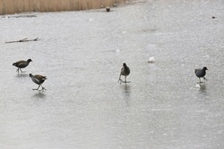 A flock of common moorhen (Gallinula chloropus ) or waterhens are walking on a frozen water in a lake