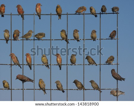 A flock of Cross bills sitting on a wire fence