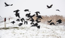 A flock of crows flying above the frozen field