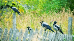 A flock of crows sits on an old wooden fence in the village. A brood of crows consists of old and young birds that still live together