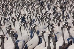 A flock of Demoiselle cranes, Khichan, IndiaA flock of