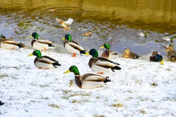 A flock of ducks has gathered on the snow-covered bank of the city canal. Mallards and pigeons are waiting for food from people.
