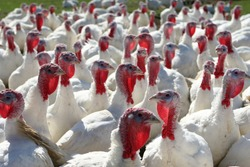 a flock of farm turkeys with one appearing to buck the crowds direction