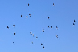 A flock of  flying black swifts. Common Swift (Apus apus).