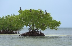 A flock of frigate birds perched on a mangrove tree