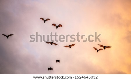 A flock of fruit bats in the sunset sky. The small flying fox, island flying fox or variable flying fox (Pteropus hypomelanus), fruit bat . Fox bat flying in the sunset sky.