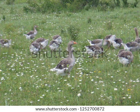 a flock of geese in the meadow. rural landscape