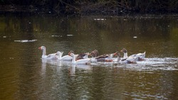 A flock of geese on the water. Geese are reflected in the river