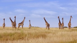 A flock of giraffes are walking on the shroud