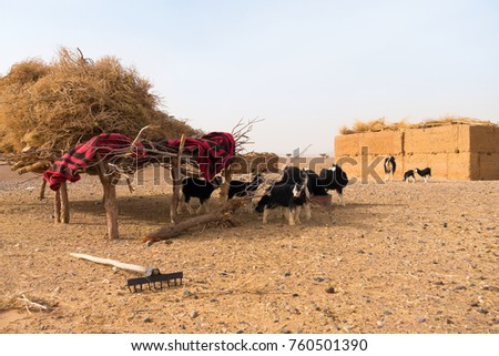 A flock of goats resting under the shade of a handmade shelter made out of dry branches and a blanket  in the Sahara desert, Morocco, Africa #760501390