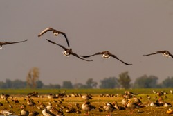 A flock of Gray Lag Geese birds in flight and many perched on ground at Vadhwana bird sanctuary in Gujarat, India. This Geese species migrate to India during winters from northern europe and siberia.