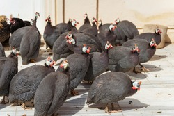 A flock of guinea fowl in Dolmabahce Park in Istanbul. Poultry guinea fowl close-up.