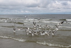 A flock of gulls on the sea is fighting for food. At the Baltic sea.