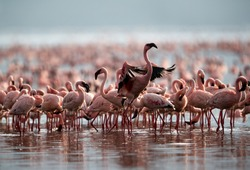 A flock of Lesser Flamingos, Bogoria lake, kenya