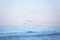 A flock of migrating birds in the sky above the sea. Seasonal migration of birds. Soft selective focus.