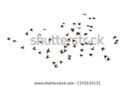a flock of numerous black Starling birds flying in the distance on a white isolated background #1192634131