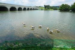 A flock of Painted Stork nearby bridge in Wetlands Park, Putrajaya                               , Malaysia
