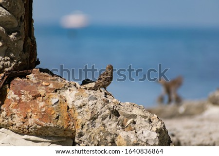 A flock of passerine birds swimming in salt water, on the black sea, on small and large stony pebbles. Frolicking feathered individuals on the coast.