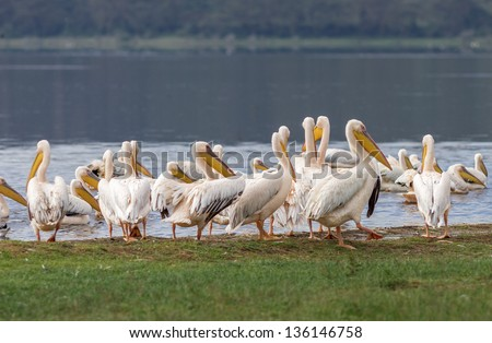 A flock of pelicans at the Lake Nakuru National Park - Kenya, Eastern Africa