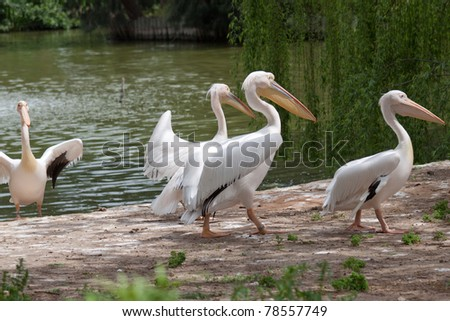 A flock of pelicans come from lake