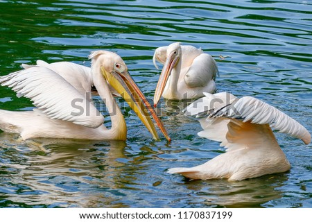 Stock Photo A flock of pelicans fishing in the lake