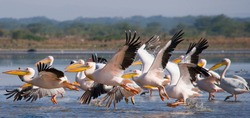 A flock of pelicans taking off from the water. Lake Nakuru. Kenya. Africa. An excellent illustration.