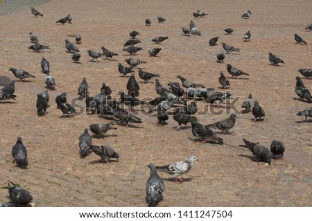 A flock of pigeon foraging on ground background