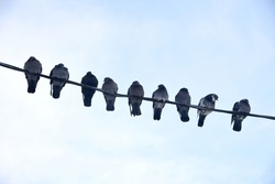 A flock of pigeons sit on an electric wire against the sky from bottom to top