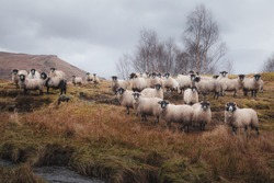 A flock of Scottish Blackface sheep (Ovis aries) stare at the camera in the countryside of Loch Awe, Argyll and Butte in the Scottish Highlands, Scotland.