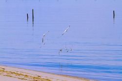 A flock of seagulls are flying as over the bay. Image features calm blue sea, a part of the beach with sea weeds washed up to shore. Birds fly in harmony close to the water surface