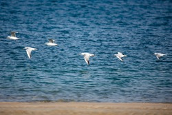 A flock of seagulls flying in one line over the sea shore