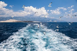 A flock of seagulls following a boat in the Adriatic.