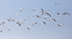 a flock of seagulls in flight