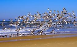 A flock of seagulls soared above the ocean shore. Beach on the Atlantic coast. Wild nature, close view. Seascape.