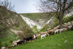 a flock of sheep and goats accompanied by a shepherd dog on hills during spring