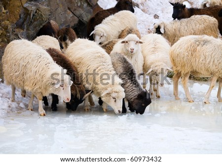 A flock of sheep on the mountain pastures