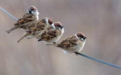 A flock of sparrows on electrical wires. Birds