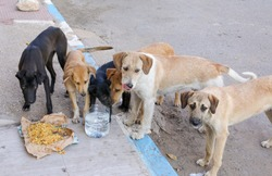 A flock of stray dogs on the streets of Agadir.