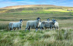A flock of Swaledale ewes on rough moorland pasture in Autumn.  Facing forward with high fells in the background. Swaledale sheep are native to this area of North Yorkshire.Space for copy.  Horizontal