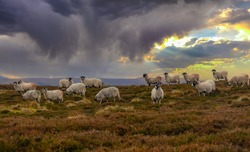 A flock of Swaledale sheep on a Winter's evening, grazing on open heather moorland in the Yorkshire Dales, UK. December. Dusk, nightfall.  Horizontal.  Space for copy