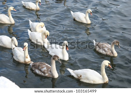 A flock of swans swim on water