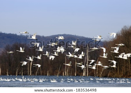 A flock of Tundra Swans fly over a lake with swans swimming in the water.
