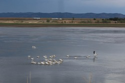 a flock of white pelicans on the lake at Maxwell Wildlife Refuge in New Mexico