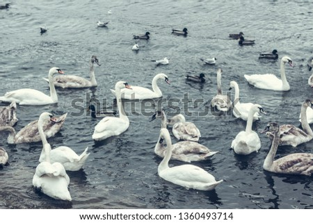 A flock of white wild swans swims in the mist through the blue pond in winter. for background. abstraction wild birds on the pond  #1360493714